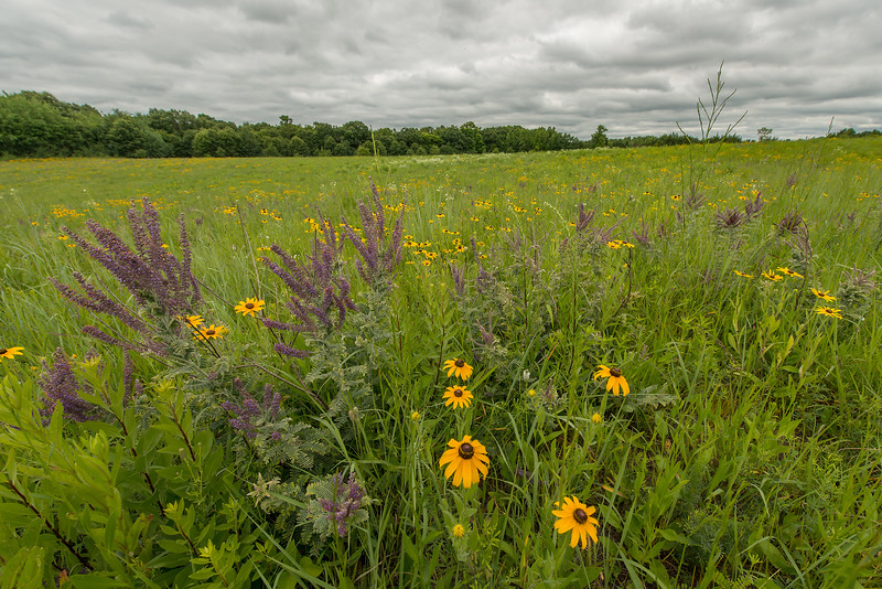 Lead Plant and Black-eyed Susans