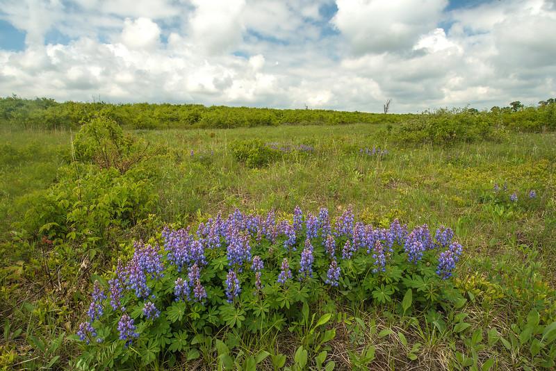 MNPR-13-13: Wild Lupine on the prairie