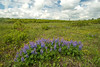 MNPR-13-13: Wild Lupine on the prairie