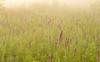Prairie Blazing Star in morning fog