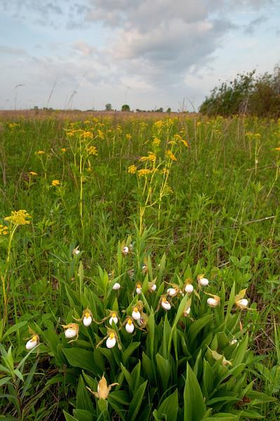 MNPR-10002: White Lady's slippers on the prairie (Cypripedium candidum)