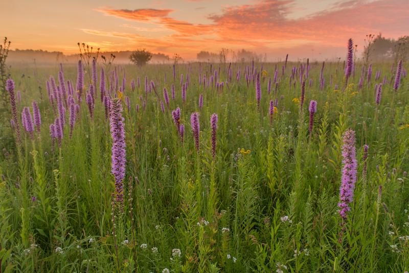 Prairie Blazing Star at sunrise