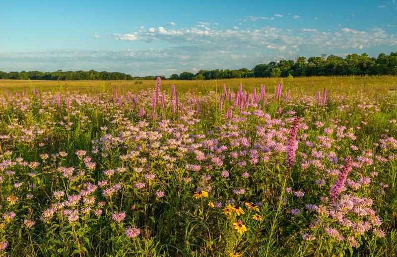 Wild Bergamot and Prairie Blazingstar