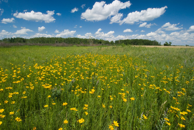 MNPR-7015: Tickseed sunflowers-Photographed at Roscoe Pairie SNA