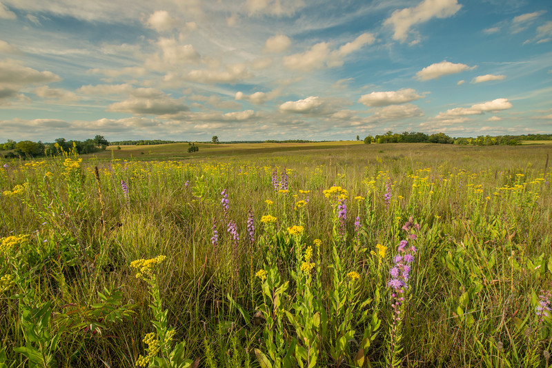 Stiff Goldenrod and Rough Blazing Star on the prairie