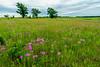 Prairie Phlox
