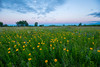 Tickseed sunflowers at Roscoe Prairie