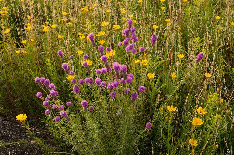 MNPR-11034: Purple Prairie Clover and Coreopsis at Roscoe Prairie