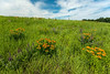 MNPR13-58: Lead Plant and Butterfly weed on the prairie