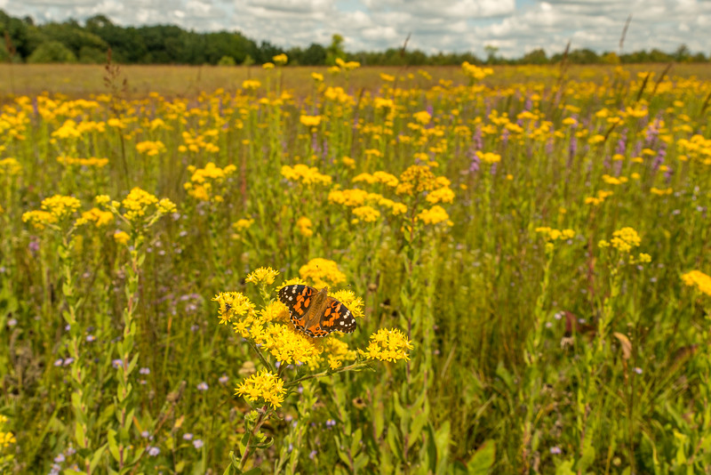 Painted Lady Butterfly on the prairie