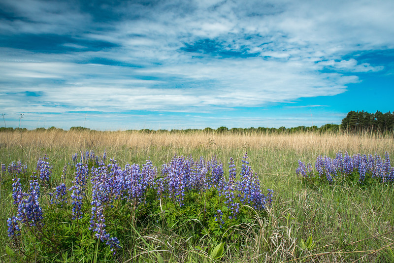 Lupine on the prairie