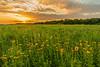 Tickseed Sunflowers on the prairie