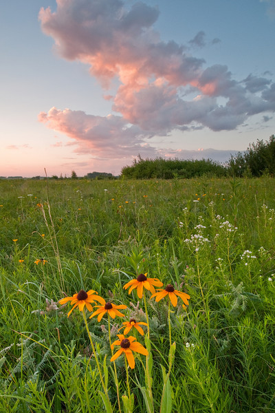 MNPR-10048: Black-eyed Susans at sunrise