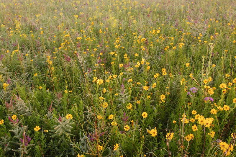 MNPR 4031 Prairie Color: Tickseed sunflowers and lead plants at Roscoe Prairie.