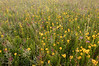 MNPR 4031 Prairie Color: Tickseed sunflowers and lead plants at Roscoe Prairie.