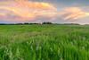 Prairie of Leadplant