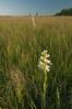 MNPR-10006: Western Prairie Fringed Orchids in habitat (Platanthera praeclara)