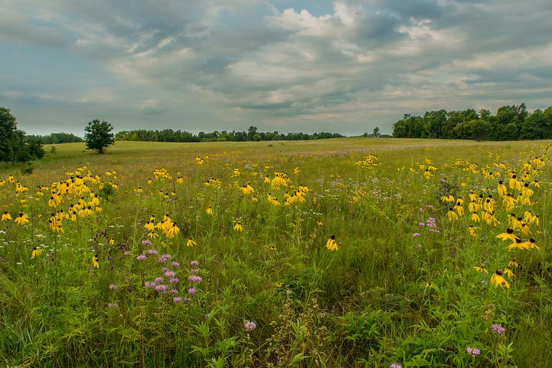 Gray-headed Cone Flowers on the prairie