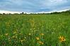 MNPR-10035: Brown-eyed Susans at Roscoe Prairie