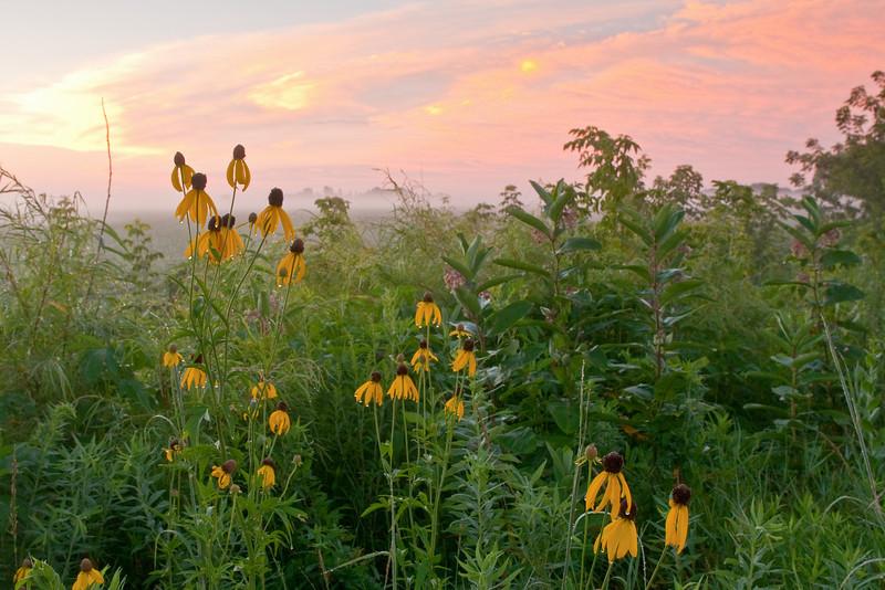 MNPR:10056: Grey-headed cone flowers at sunrise