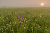 Prairie Blazing Star at sunrise