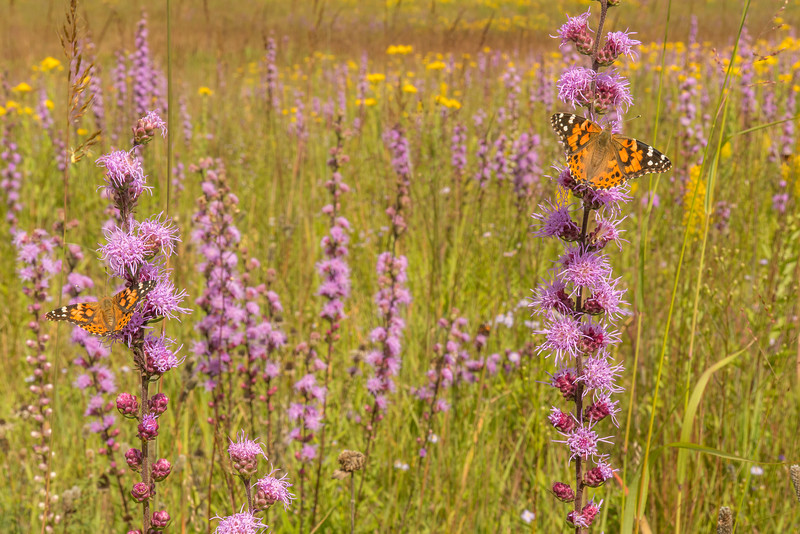 Painted Lady's on Rough Blazing Star