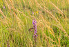 Monarch through Indian Grass
