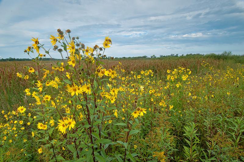 MNPR-11080: Prairie Sunflowers