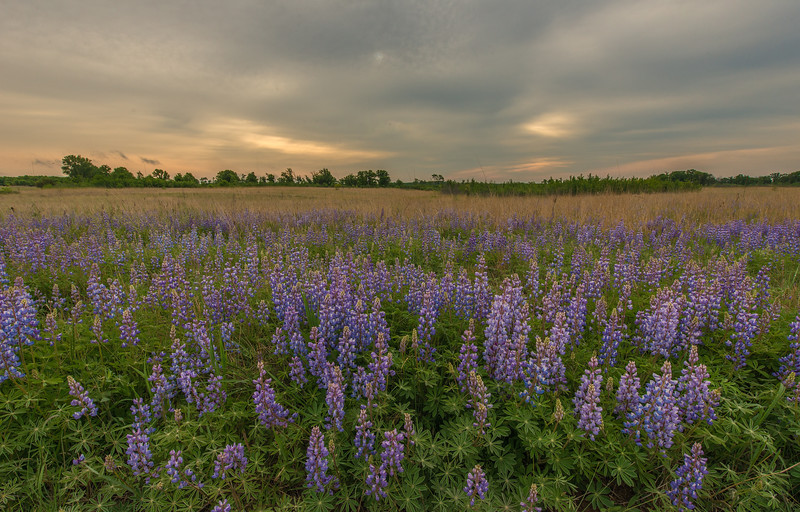 Lupine on a Oak-Savanna Prairie