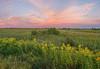 Canada Goldenrod on the prairie