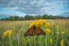 Monarch on Stiff Goldenrod