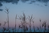 MNPR-13-143: Big Bluestem grass at twilight