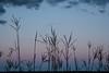 MNPR-13-143: Big Bluestem grass at twilight