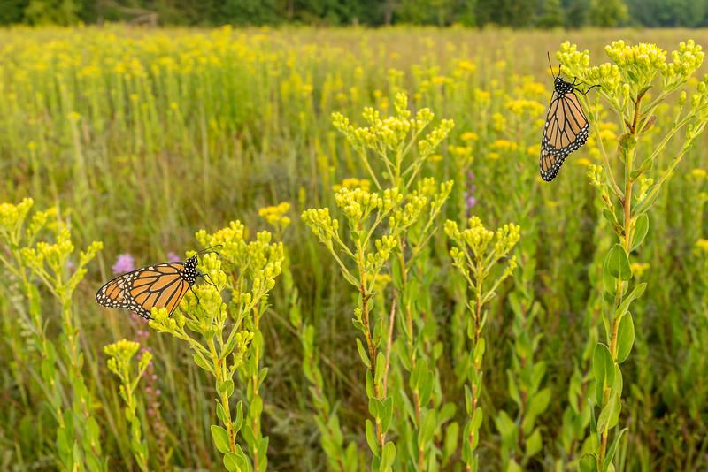 Monarchs on Stiff Goldenrod