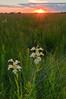 MNPR-10013: Western Prairie Fringed Orchids at sunset (Platanthera praeclara)