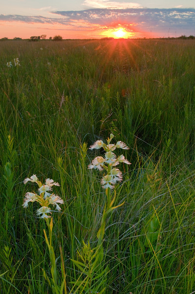 MNPR-10013: Western Prairie Fringed Orchids at sunset (Platanthera praeclara)