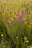 MNPR-11039: Purple Prairie Clover and Coreopsis