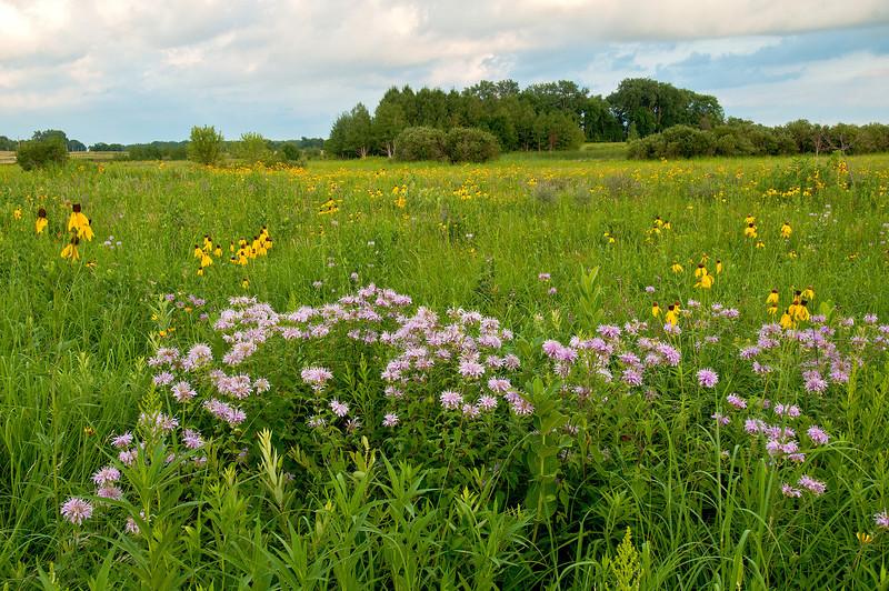 MNPR=11050: Bergamot and Grey-headed Cone flowers on the prairie