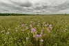 Wild Bergamot on the prairie