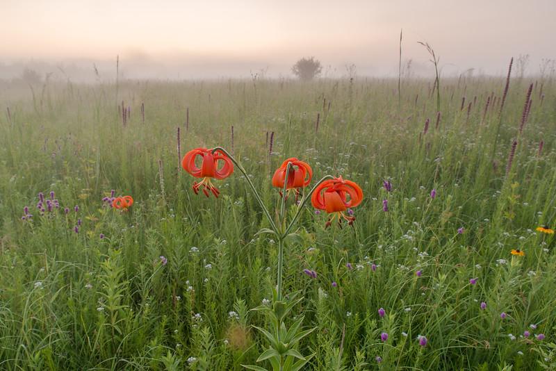 Michigan Lily's on a foggy prairie sunrise