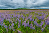 Lupine and storm clouds