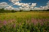Fireweed on the prairie