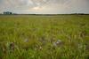 MNPR-13-52: Spiderwort on the prairie