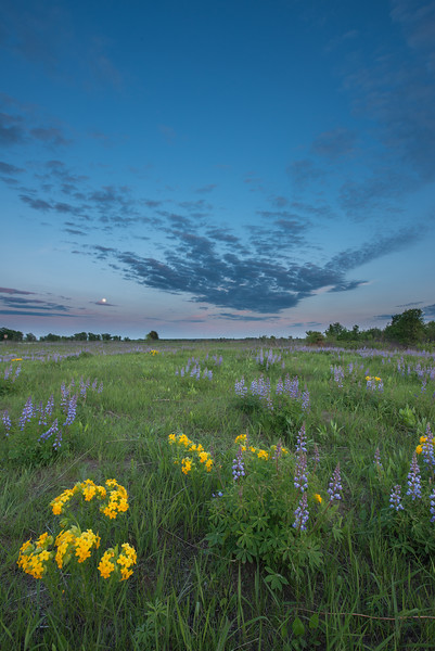 Lupine and Puccoon at twilight