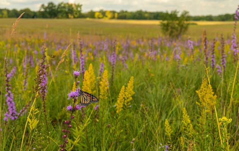 Monarch surrounded by prairie color