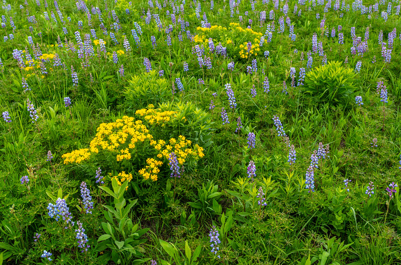 Native Lupine and Hoary Puccoon