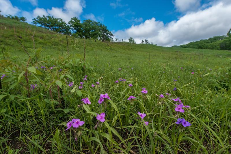 Spiderwort at Ottawa Bluffs Preserve