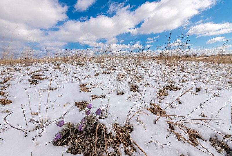 Pasque Flowers covered in snow