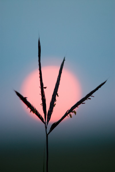 MNPR-7134: Large Bluestem silhouette-Using a 70-200mm lens with 1.7X Convertor attached allowed me to make the setting sun look bigger to silhouette the Large Bluestem grass.