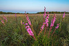 Rough Blazing Star on the prairie